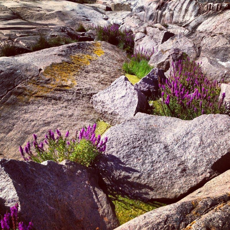 Скандинавские цветки в утесах стоковое фото rf