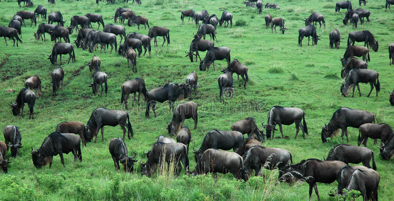 Скапливаемое wildebeast в Танзании, Африке стоковая фотография rf