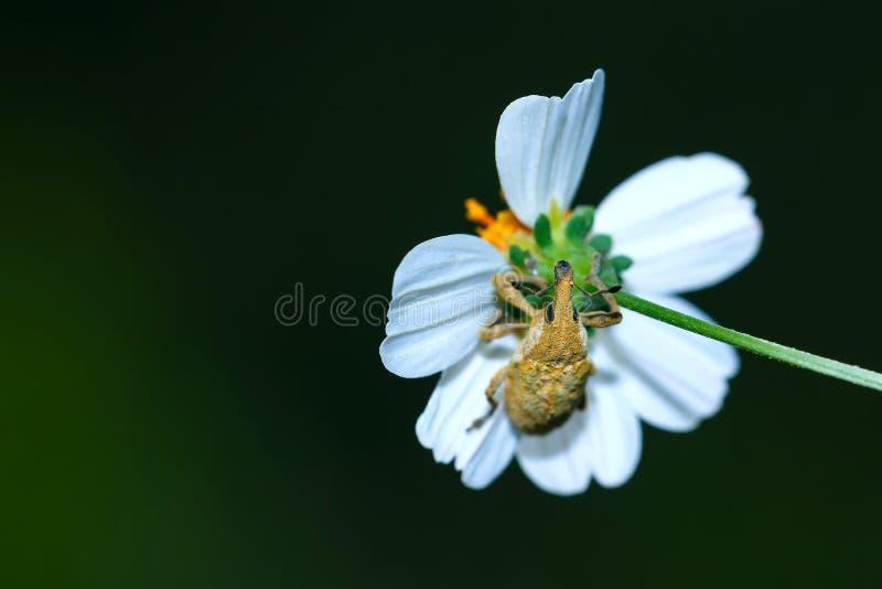 Скарабей, насекомое, голубой жук скарабея на лист стоковые изображения