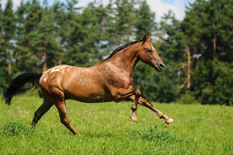 Скача галопом лошадь стоковое изображение
