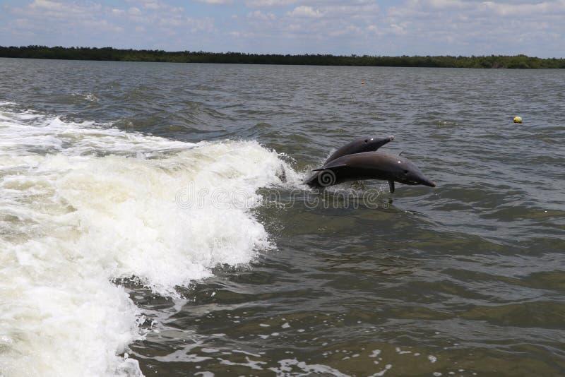 Скача дельфины стоковое изображение rf
