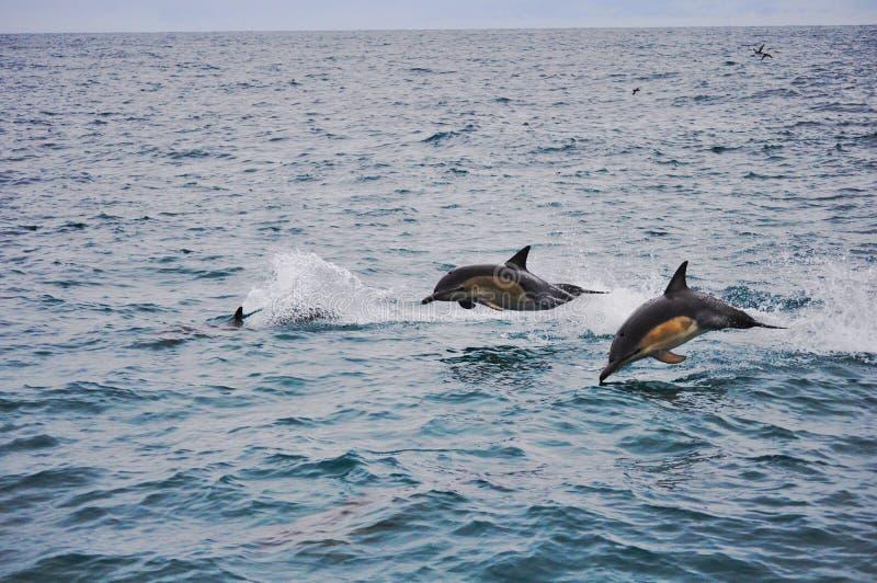 Скача дельфины в Kaikoura, Новой Зеландии стоковая фотография rf