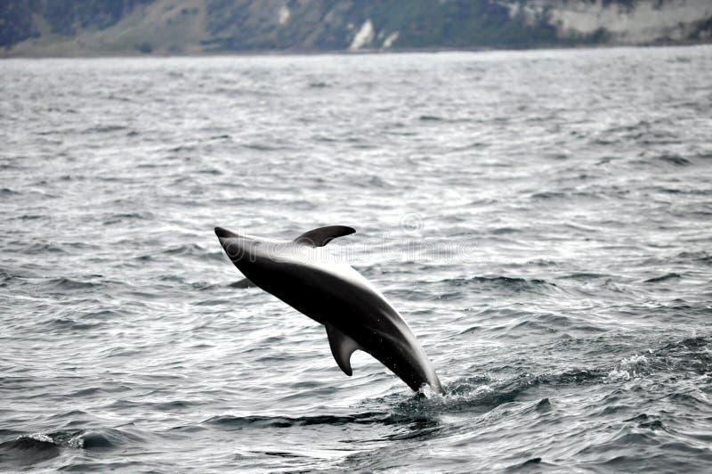 Скача дельфин в Kaikoura, Новой Зеландии стоковые изображения
