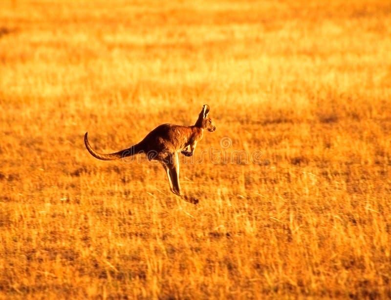 скача кенгуру стоковые фото