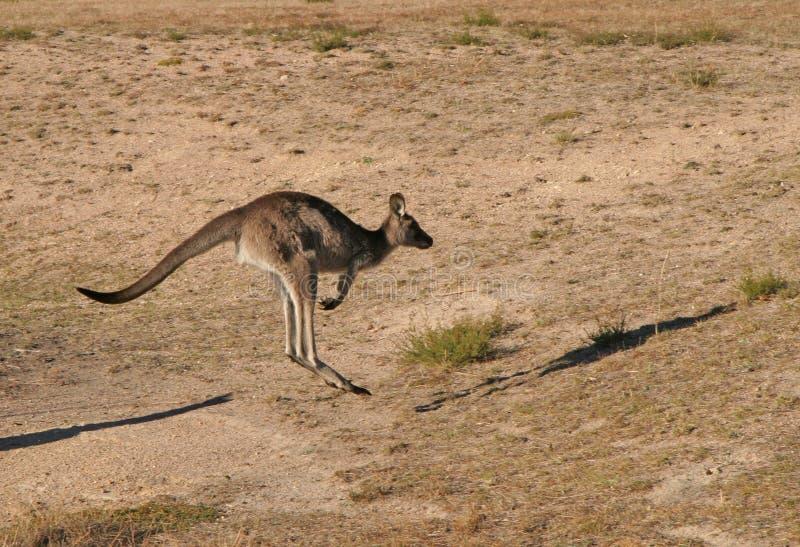 скача кенгуру стоковое фото