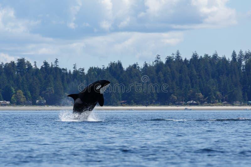 Скача косатка или дельфин-касатка стоковые изображения rf