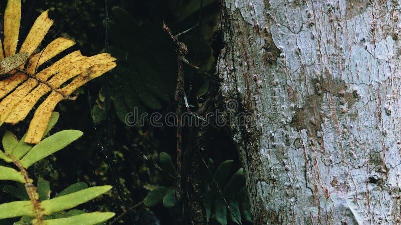 Скача насекомое ручки идя на ствол дерева в тропическом лесе стоковое фото