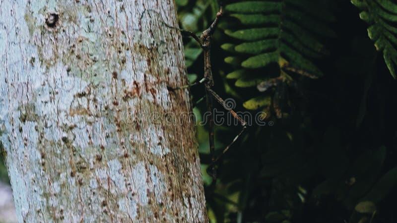 Скача насекомое ручки идя на ствол дерева в тропическом лесе стоковое изображение