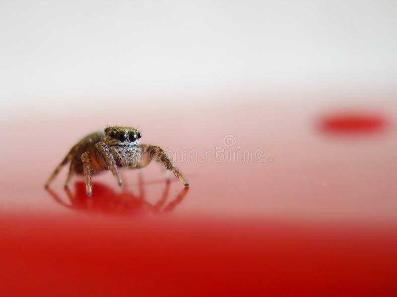 Скача паук на красной поверхности стоковые фото