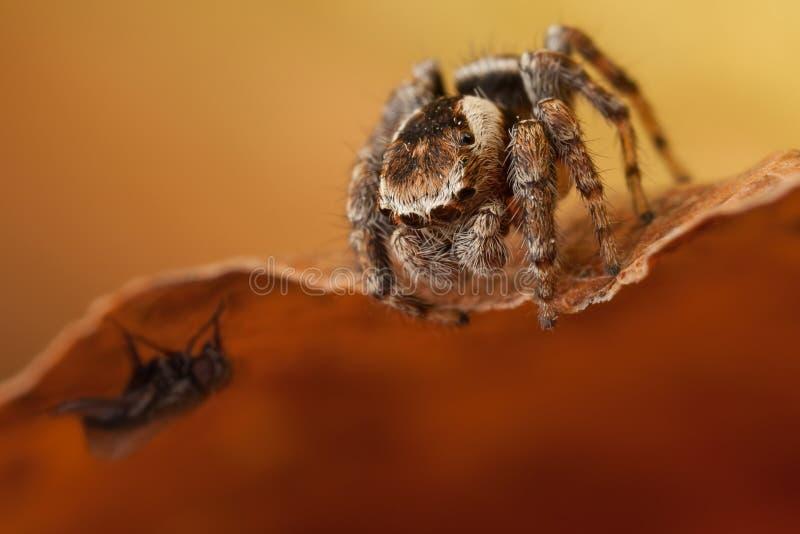 Скача паук охотясь муха стоковая фотография