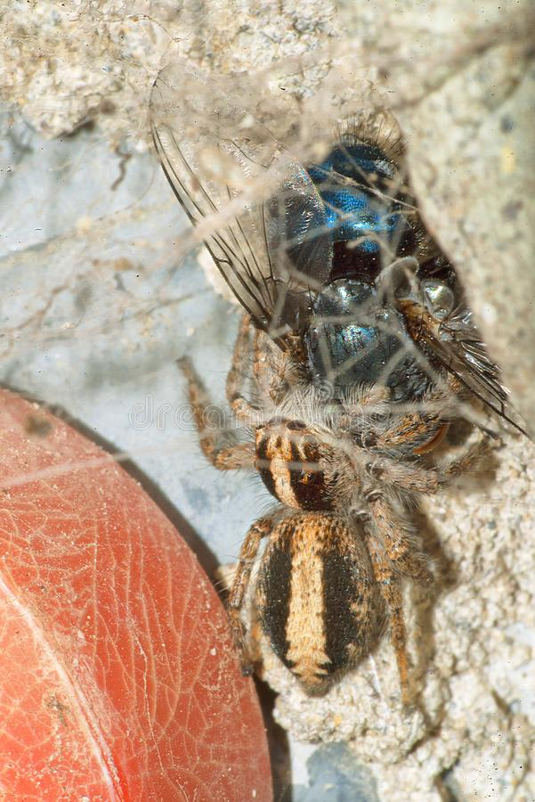Скача паук с его добычей, голубой мухой стоковые фото