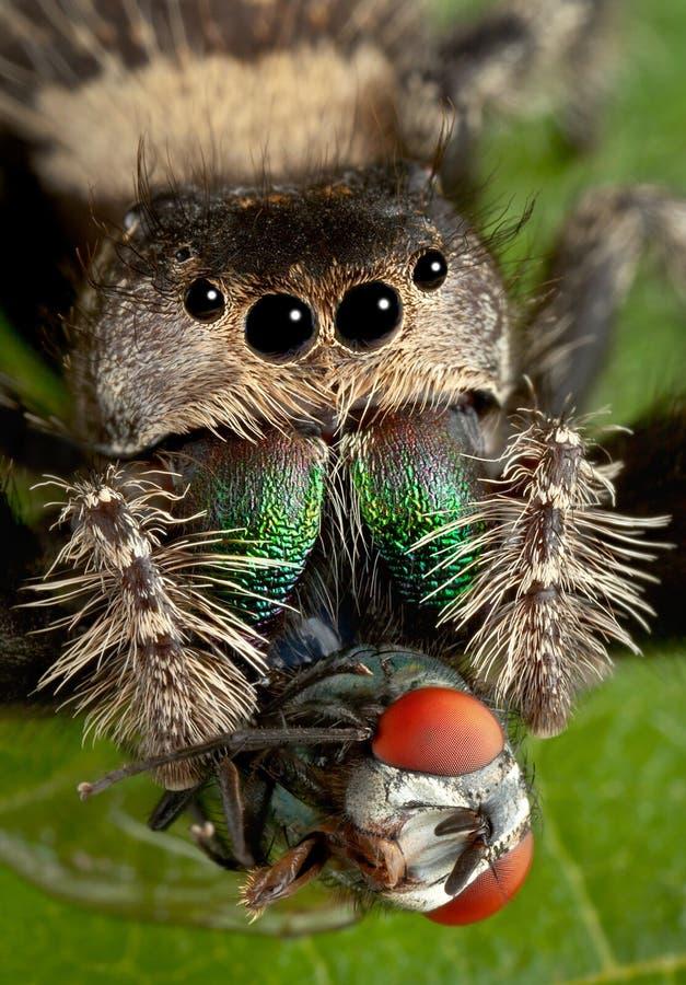 Скача паук с клыками в мухе стоковые фотографии rf
