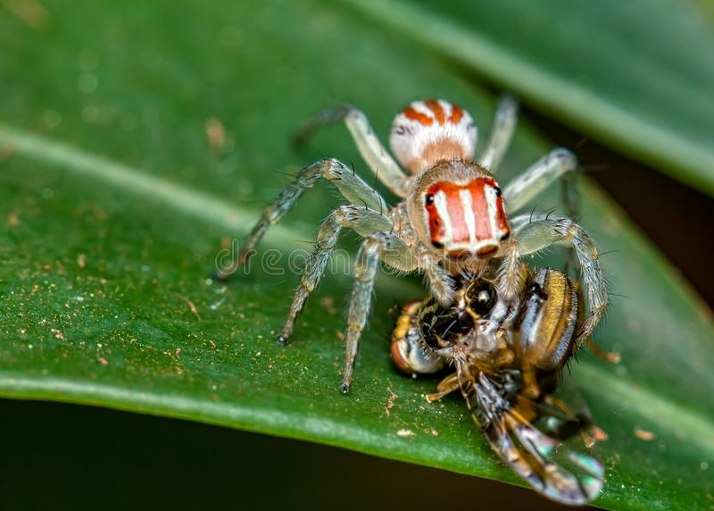 Скача паук, Salticidae, на лист с мухой на своих бивнях, фотография макроса природы стоковая фотография