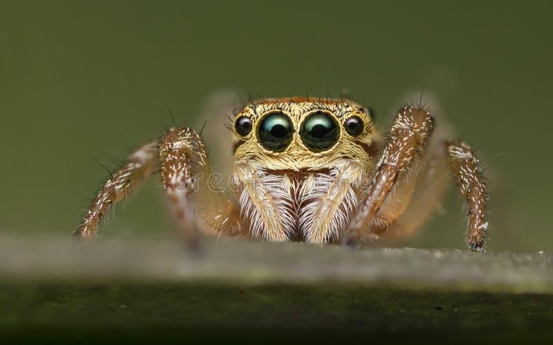 Скача паук - Salticidae стоковые фото