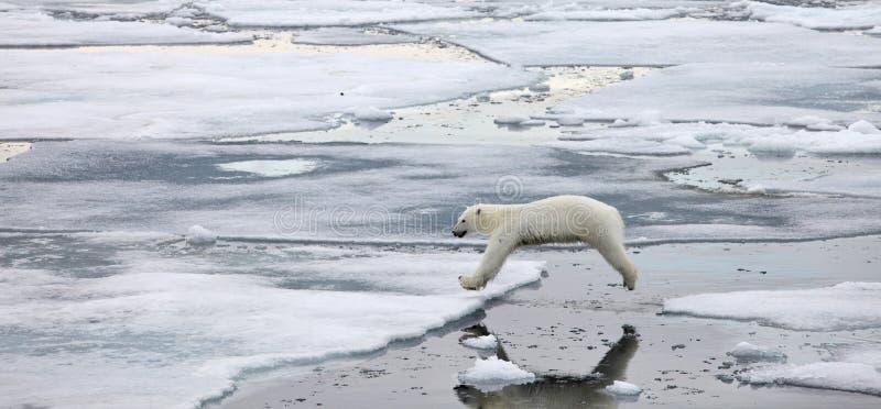 Скача полярный медведь стоковые изображения rf