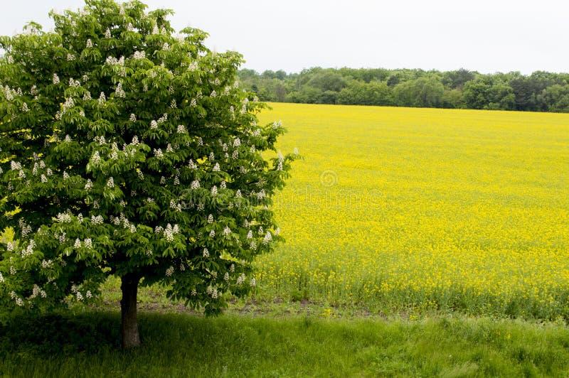 Скачет blossoming дерево против поля рапса, вопроса стоковое фото