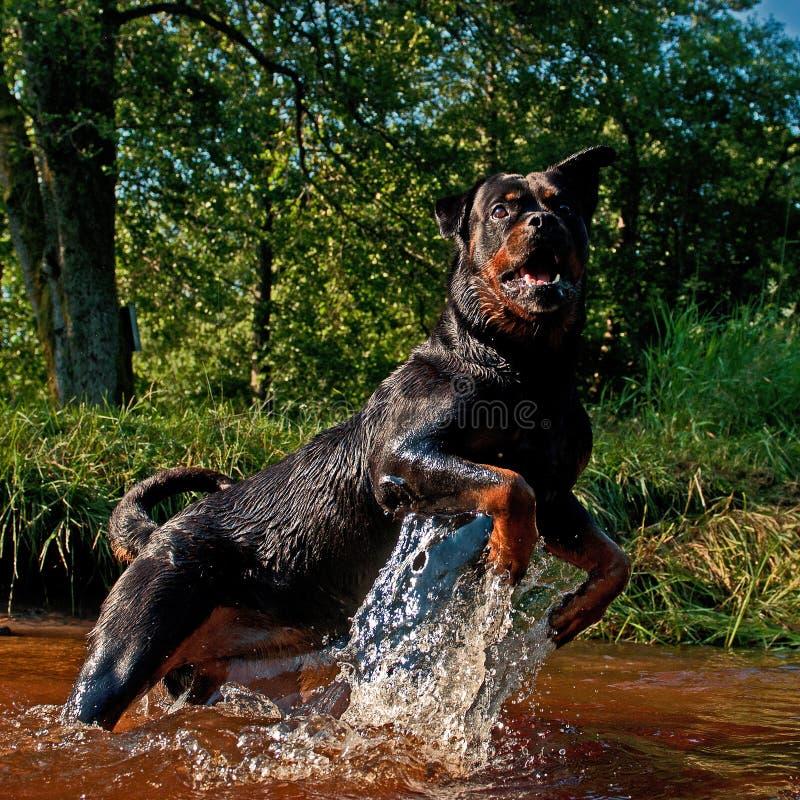 Скачка Rottweiler в реке стоковые изображения rf