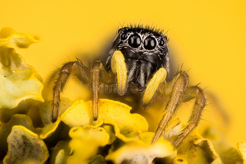 Скачущ паук, омедняйте Солнц-шлямбур, медный шлямбур Солнця, паук, cupreus Heliophanus, Salticidae стоковое фото