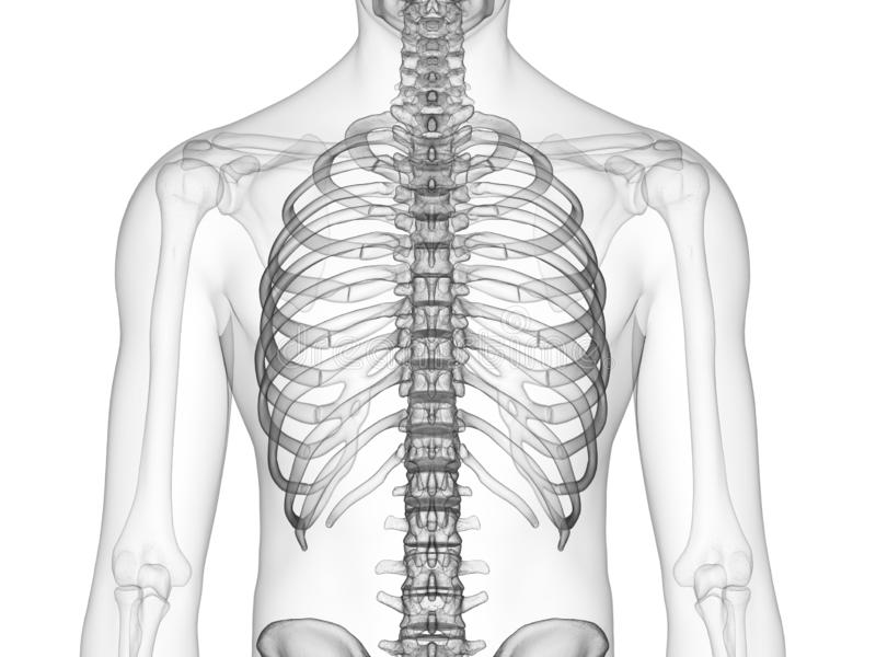 Скелетный торакс бесплатная иллюстрация