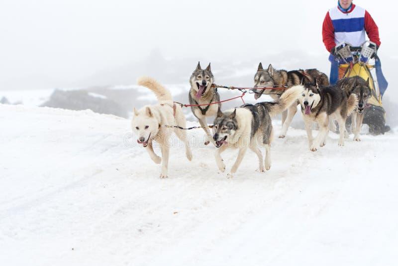 скелетон гонки собаки стоковая фотография