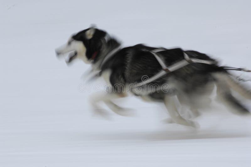 скелетон 03 собак стоковые изображения