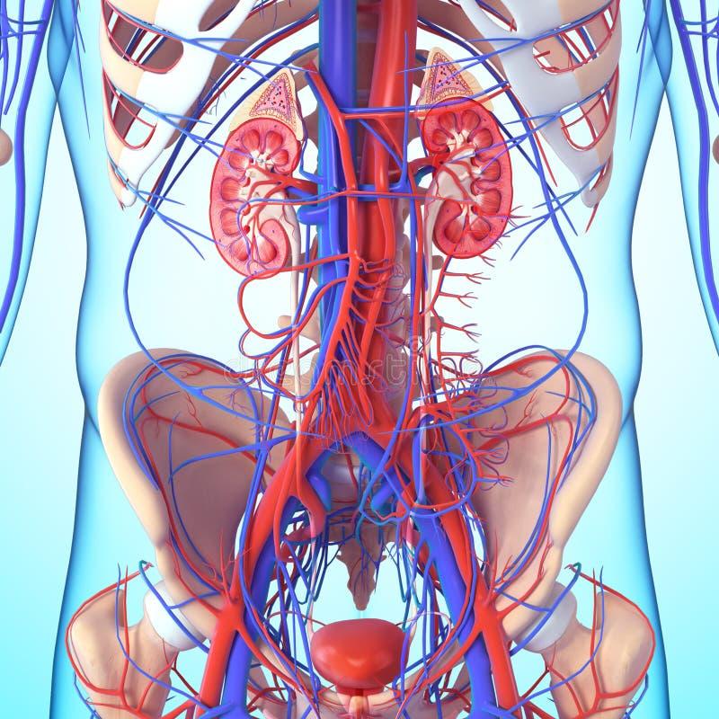 Скелет и почка с пузырем иллюстрация штока