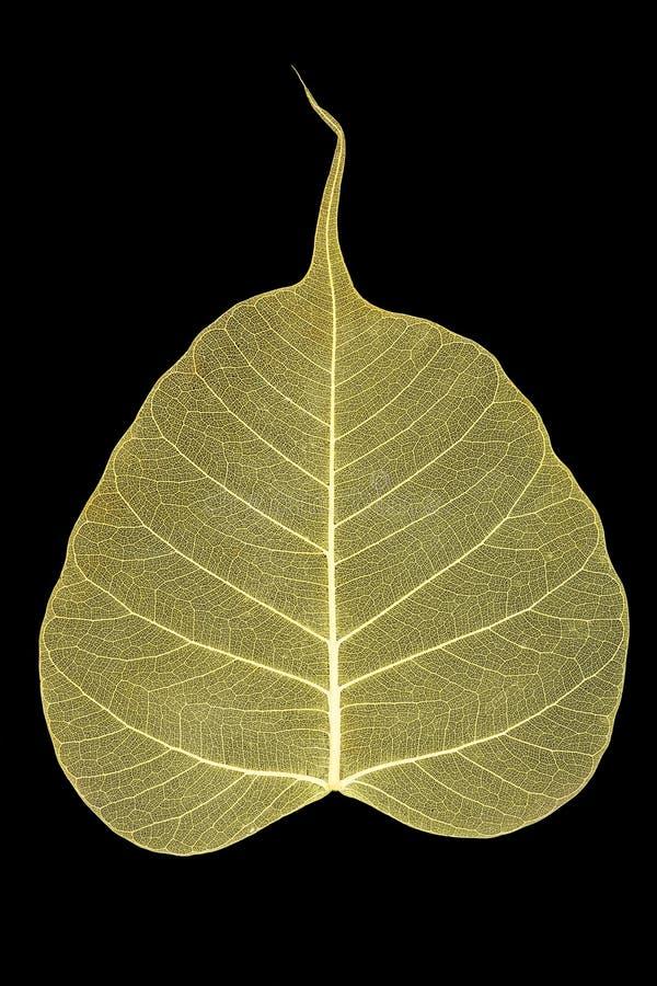 скелет листьев стоковое изображение