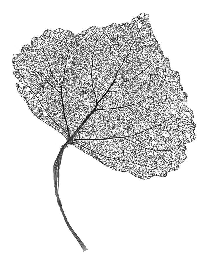 скелет листьев стоковая фотография rf