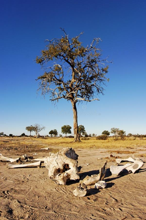 скелет слона стоковые фото