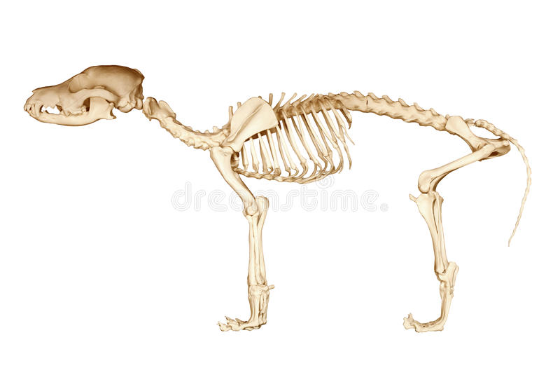 Скелет собаки стоковые изображения rf