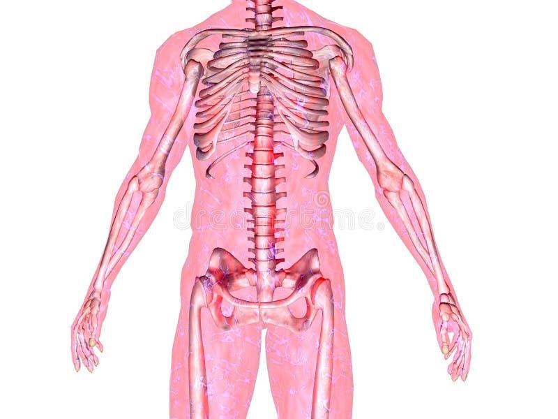скелет тела иллюстрация штока