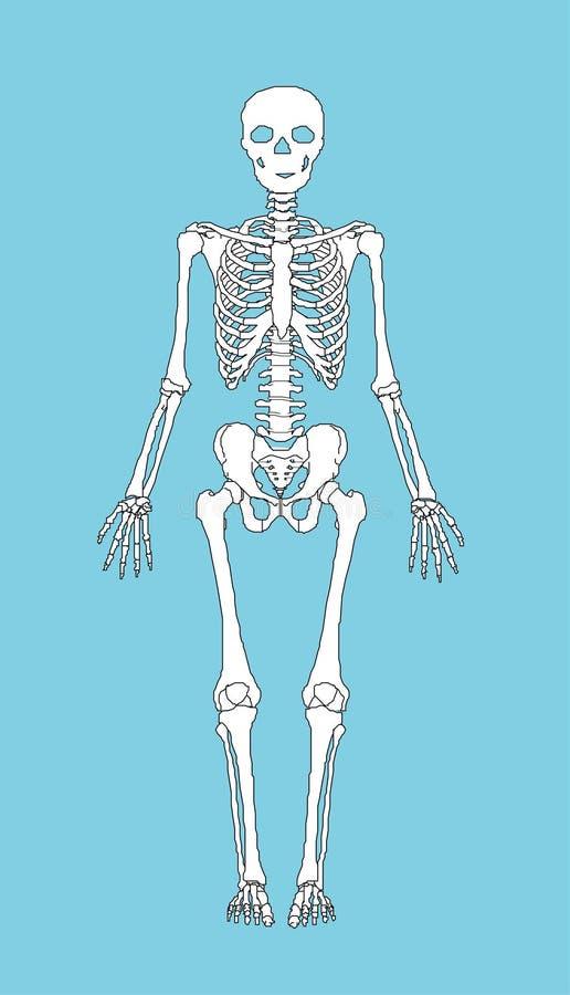 Скелет стоковое изображение rf