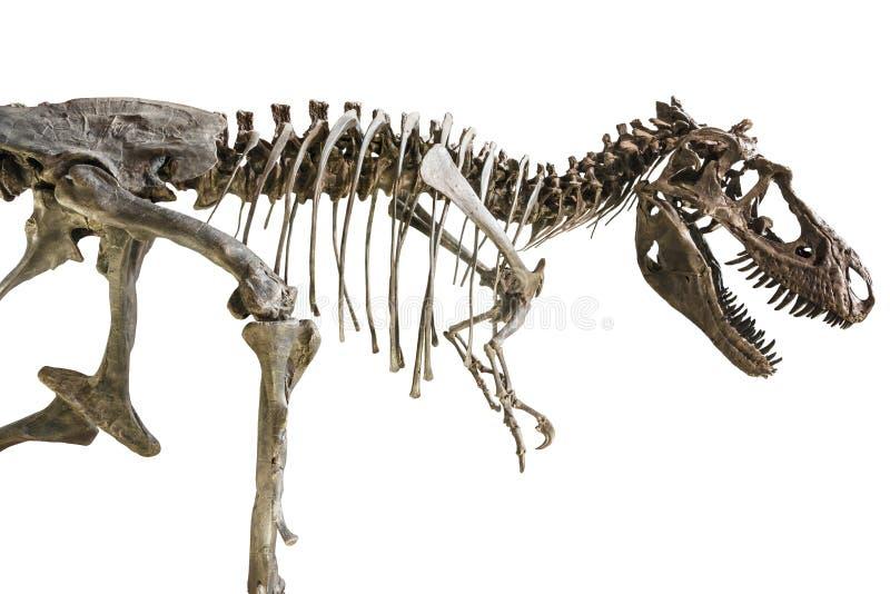 Скелет Rex тиранозавра на изолированной предпосылке стоковые фотографии rf