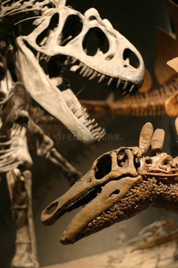 скелет t rex стоковые фотографии rf