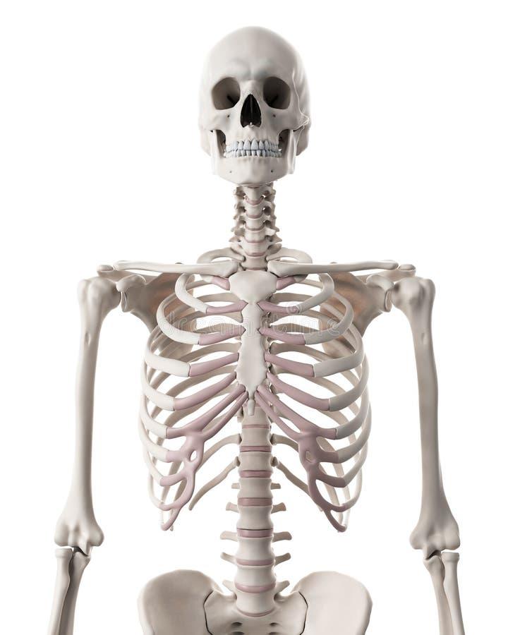 Скелетная система - торакс иллюстрация штока