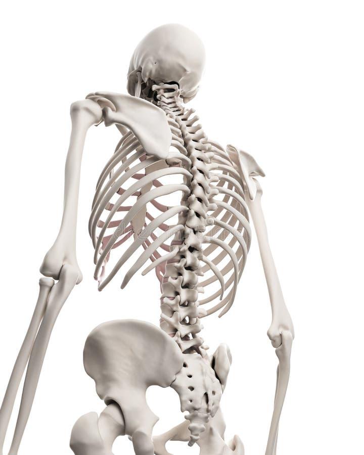 Скелетная система - торакс иллюстрация вектора