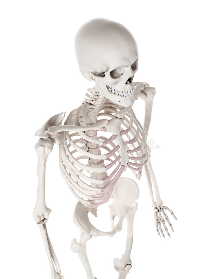 Скелетная система - торакс бесплатная иллюстрация