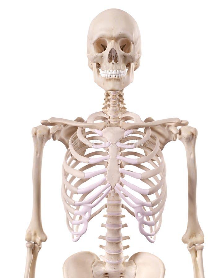 Скелетный торакс иллюстрация вектора