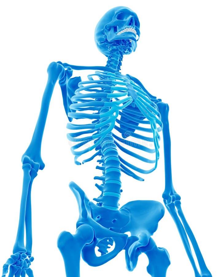 Скелетный торакс иллюстрация штока