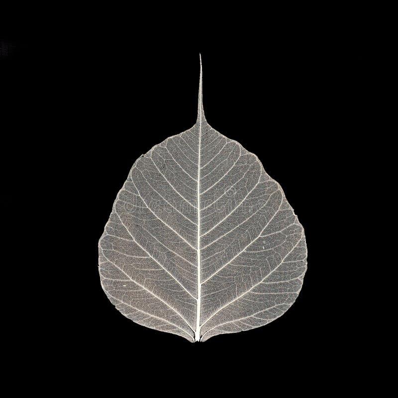 Скелет лист стоковое изображение rf