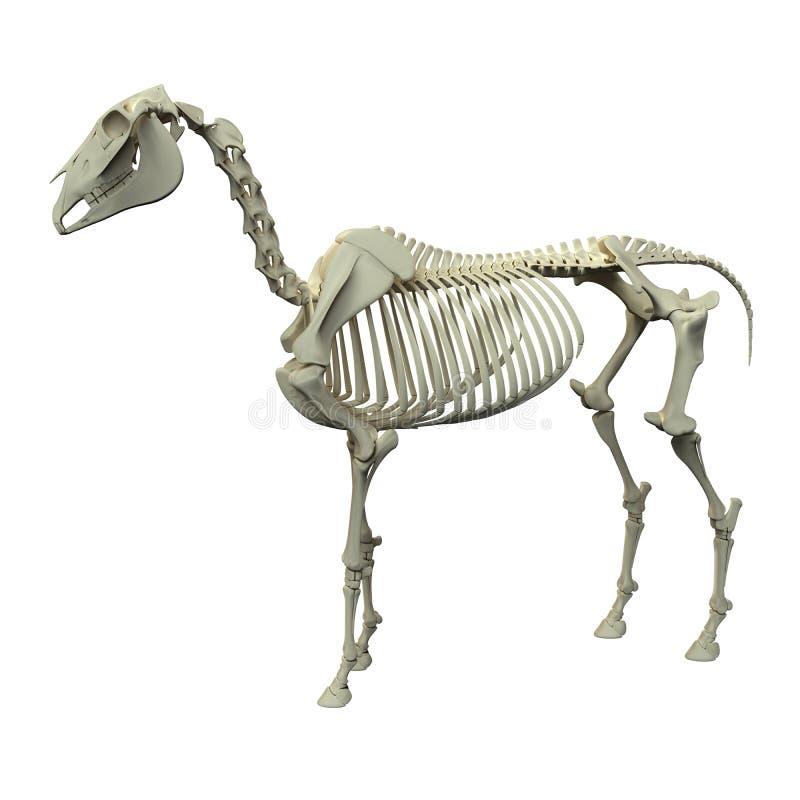 Скелет лошади - анатомия Equus лошади - взгляд со стороны изолированный на whi бесплатная иллюстрация