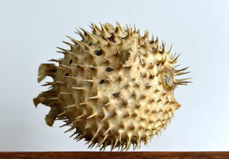 Скелет рыб скалозуба стоковые фотографии rf
