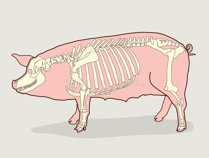 Скелет свиньи также вектор иллюстрации притяжки corel Диаграмма скелета свиньи бесплатная иллюстрация