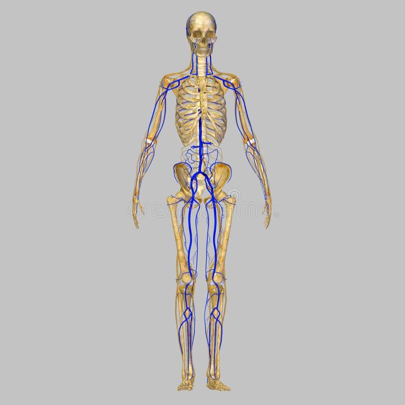 Скелет с венами иллюстрация штока
