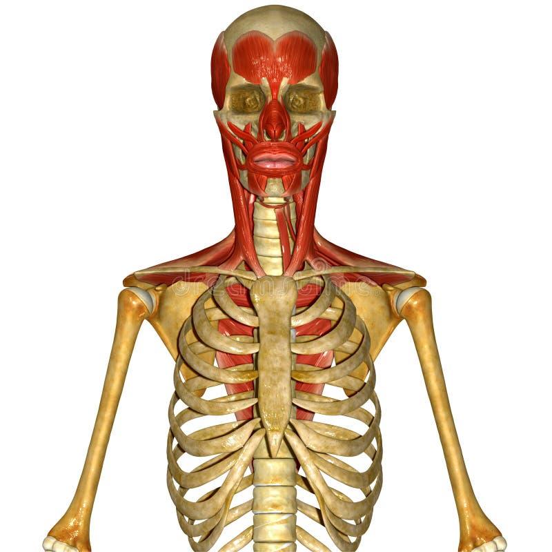Скелет с лицевыми мышцами иллюстрация штока
