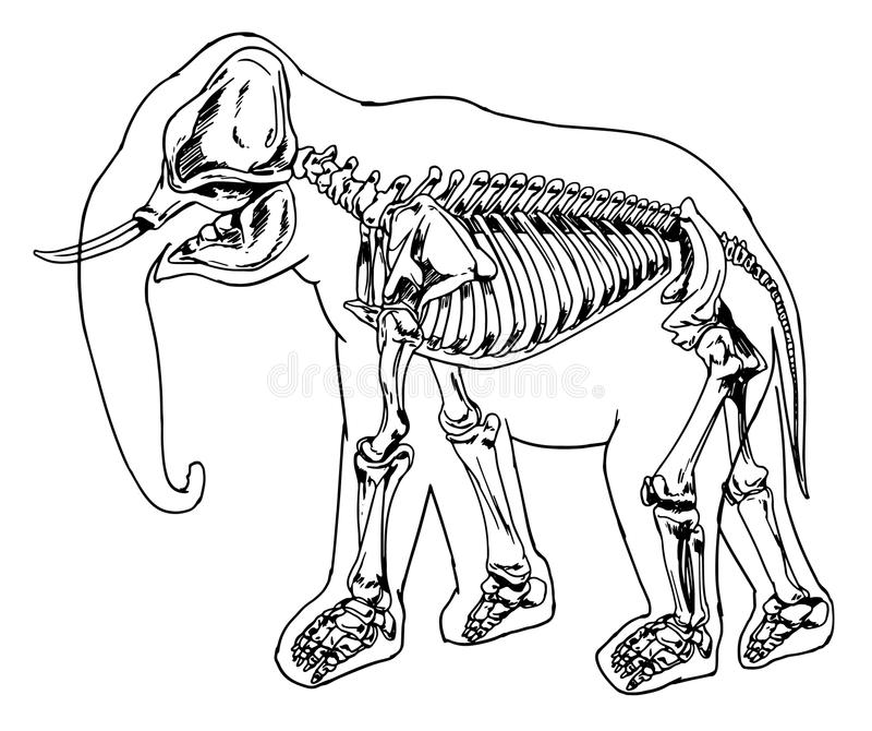 Скелет слона бесплатная иллюстрация