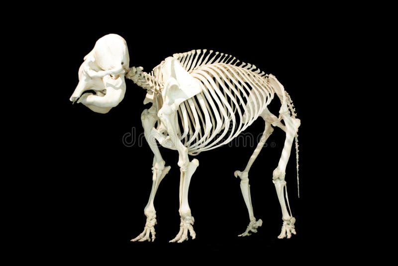 Скелет слона стоковое фото rf