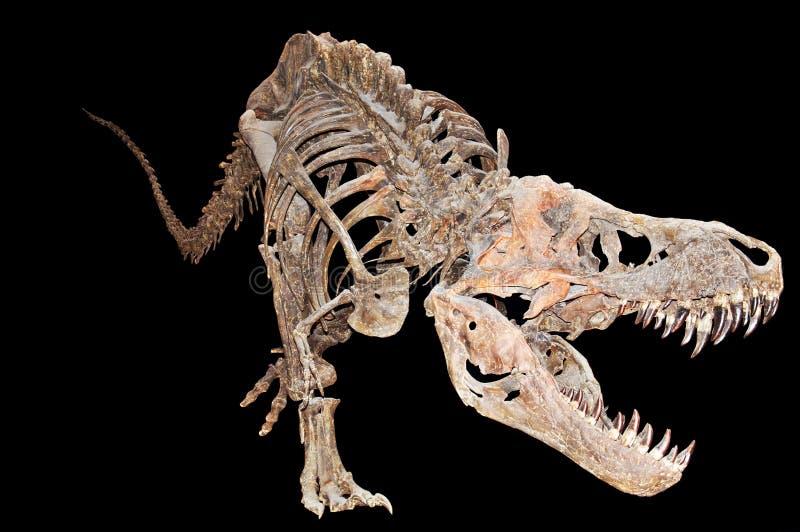 Скелет rex тиранозавра стоковые фотографии rf