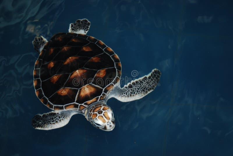 скложите черепаху вместе моря стоковые фотографии rf