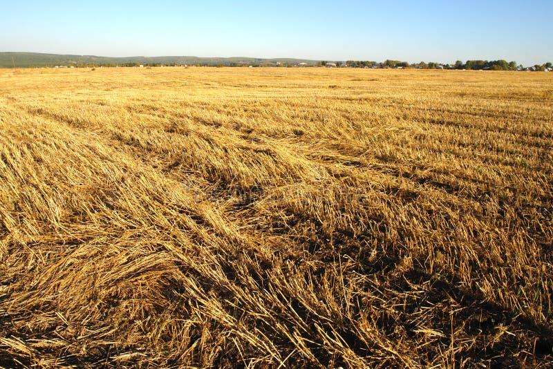 Скомканное пшеничное поле после сбора к горизонту, на заходе солнца стоковые изображения